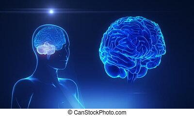 vrouwlijk, cerebellum, in, lus, hersenen, concept
