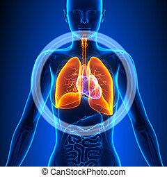 vrouwlijk, longen, -, anatomie, menselijk, organen