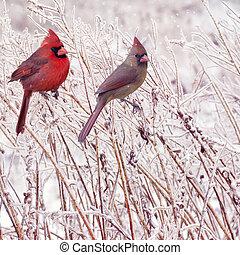 vrouwlijk, mannelijke , noordelijke kardinalen