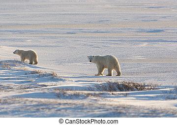 vrouwlijk, polar bear, en, welp
