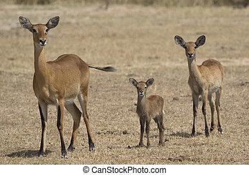 vrouwlijk, van, anders, leeftijden, en, jonge, kob, in, de, ugandan, savanne, in, de, droog seizoen