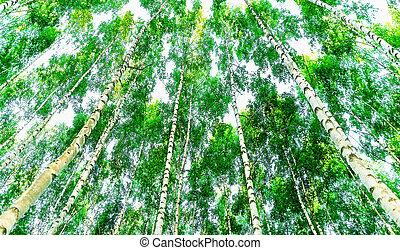 vue, angle, bas, arbres, bouleau