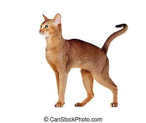 vue, côté, portrait, chat, abyssinian