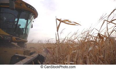 vue, haut, récolte, agronomie, rassemblement, mûre, farmland., season., ou, maïs, automne, combiner, pendant, récolte champ, paysan, mouvement, côté, fonctionnement, lent, maïs, fin, agricole, concept.