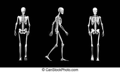 vue, squelette, différent, marche