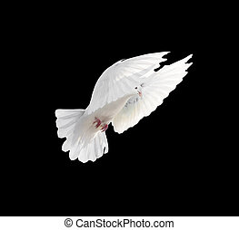 vuelo, aislado, libre, fondo negro, paloma blanca