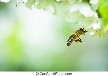 vuelo, cereza, florecer, árbol, abeja, miel, se acercar