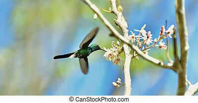 vuelo, cubano, esmeralda, colibrí, (chlorostilbon, ricordii)