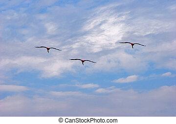 vuelo, flamencos