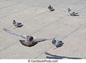 vuelo, paloma
