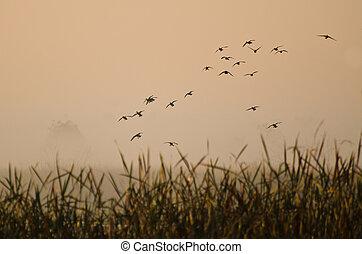 vuelo, patos, temprano, pantano, sobre, brumoso, mañana