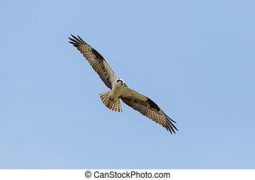 vuelo, quebrantahuesos, pájaro