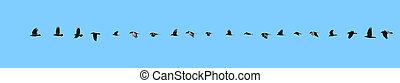vuelo, sequence., cuervo