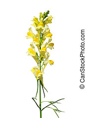 vulgaris), común, (linaria, toadflax