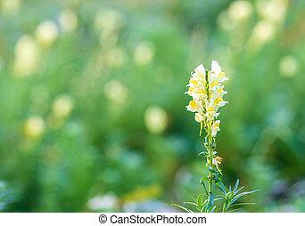 vulgaris, o, toadflax, campo, florecimiento, flores amarillas, linaria