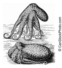 vulgaris), vendimia, (octopus, pulpo, engraving.