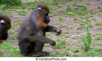 vulnérable, closeup, il, espèces, mastication, regarder, primat, femme, afrique, mandrill, statut, exotique, nourriture