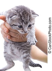 A child holds up a cute gray kitten