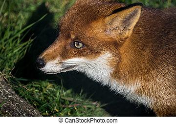 (vulpes,  vulpes), zorro, rojo