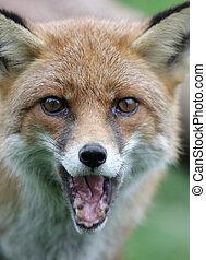 Vulpes, zorro, rojo