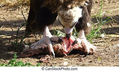 vulture eats production