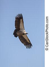 Vulture Flight