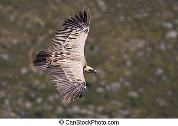 Vulture in flight over the blurred background (gyps fulvus)