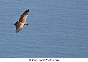 Vulture in flight over the sea (gyps fulvus)