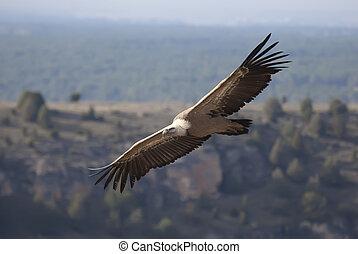 Vulture in las Hoces del Duraton, Segovia, Spain