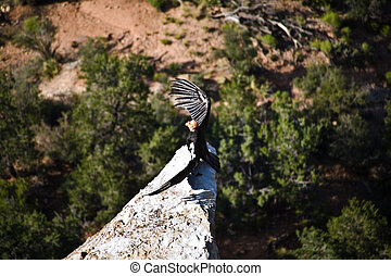 vulture in the Great Canyon near Maricopa Point, they carry a homing device and an identification to be controlled by ranger