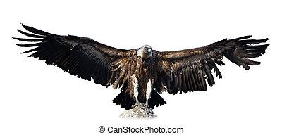 vulture., isolato, sopra, bianco