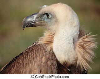 vulture portrait - portrait of a fantastic griffon vulture