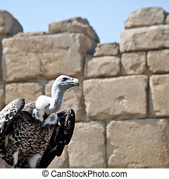Vulture ready for the flight. Vultures seldom attack healthy...