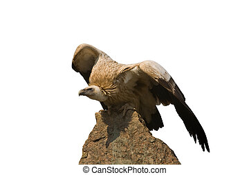 Vulture sitting on a rock
