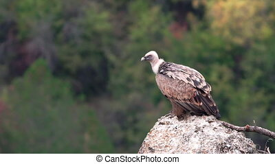 Vulture standing on top of rock - Isolated Gyps fulvus...
