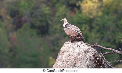 Isolated Gyps fulvus vulture standing over rock against forest in autumn