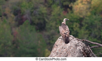 Vulture standing over rock, rear view - Isolated Gyps fulvus...
