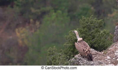 Vulture starting to fly from top of the rock - Isolated Gyps...