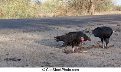 Vulture Steals Roadkill Carcass - Single vulture stealing a...