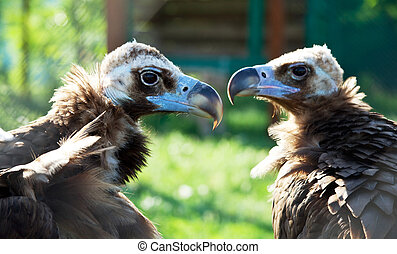 Vulture - vulture