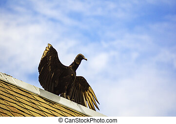 Vulture wild bird open wings picture image background