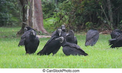 Vultures (2 shots) - Two shots in one. A flock of American...