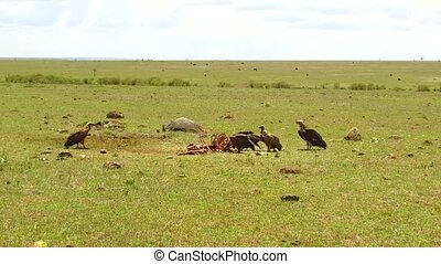 vultures eating carrion in savannah at africa - birds of...