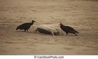 Vultures Eating Turtle