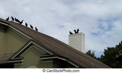 Vultures perched on roof - Vultures perched on roof, housing...