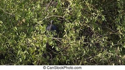 Vulturine Guineafowl, acryllium vulturinum, Adult perched in...