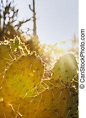 vuurpijl, gestekeld peer cactus, zon