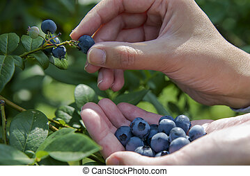 vybírání, blueberries