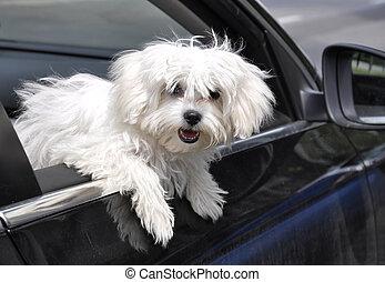 maltese dog - vygllyadyvayuschaya maltese dog from a car...