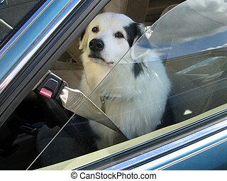 wóz, usługiwanie, pies
